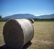 Hay ready for drying